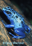 Blue Poison Dart Frog native to Surinam.
