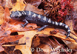 Marbled Salamander - autumn near vernal pool