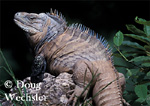 Banded Rock Iguana  Cyclura ricordii  Endangered species from Dominican Republic