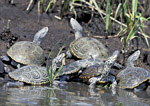 Diamondback Terrapins basking in salt marsh