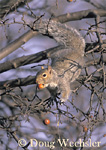 Gray Squirrel eats crab apple