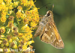 Sachem (skipper butterfly) on goldenrod