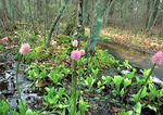 Swamp-Pink growing along stream