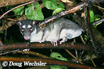 Common Gray Four-eyed Opossum