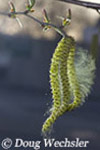 Birch catkin pollen dispersing in wind