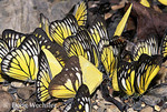 Pierid butterflies drinking urine along river