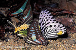 Swallowtail Butterflies drinking urine  3 species  