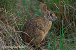 Swamp Rabbit in Louisiana marsh