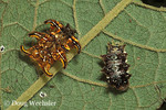 Slug caterpillars  Limadodidae   smaller one recently molted  Costa Rica, Guanacaste Conservation Area