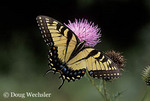 Tiger Swallowtail female necatring on Bull Thistle  Papilio glaucus