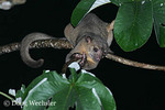 Kinkajou; in Cecropia tree at night; prehensile tail