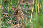 Baby Eastern Cottontail rabbit eating phragmites stem at edge of salt marsh