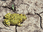 Green Toad; Bufo debilis; on dry playa; Texas Panhandle