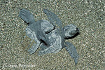 Olive Ridley Sea Turtles; Lepidochelys olivacea, hatchlings emerging from nest beneath sand; Costa Rica, Santa Rosa N.P.