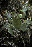 Pacific Giant Glass Frog; Centrolene geckoideum; on rock above mountain stream; Ecuador, Prov. Carchi 2,550 m.