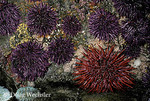 Red Sea Urchin with Purple Sea Urchins; Strongylocentrotus franciscanus; Strongylocentrotus purpureus; in intertidal above tidepool  WA, Olympic Coast