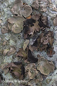Smooth Rock Tripe and Plated Rock Tripe; Umbilicaria mammulata and U. muehlenbergii;  edible lichens; Bake Oven Knob, PA