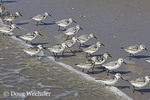 Sanderling; Calidris alba; on beach; NJ, Cape May