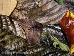 Tropical Automeris moth camouflaged in leaf litter
