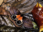 Automeris moth, Automeris sp.; eye-spots - defensive startle display; Costa Rica, La Selva Biological Station