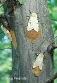 Gypsy Moth; Lymantria dispar; laying eggs on tree trunk