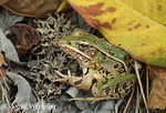 Southern Leopard Frog; Rana sphenocephala; autumn on dry vernal pool; Delaware, Delmarva Peninsula