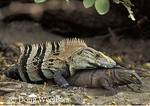 Spiny-tailed Iguanas; Ctenosaura similis; mating; Costa Rica, Santa Rosa NP