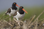 American Oystercatcher; Haematopus palliatus; in salt marsh; Stone Harbor, Cape May Co., NJ