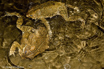 American Toad; Bufo americanus; males attempting to mate - but ending up with other males;  PA, Fairmount Park, Wissahickon Cr.
