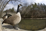 Canada Goose, Branta canadensis, Valley Green,  Wissahickon Cr., Fairmount Park, Philadelphia, PA