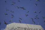 Chimney Swifts; Chaetura pelagica; going to roost in chimney; staging during fall migration; PA, Philadelphia