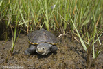 Diamondback Terrapin; Malaclemys terrapin; juvenile in salt marsh; NJ, Stone Harbor
