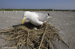 Herring Gull at nest; Larus argetatus; Nummy Island, Stone Harbor,NJ
