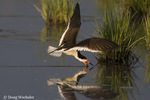 Black Skimmer Rynchops niger foraging in saltmarsh NJ,,  Delaware Bay