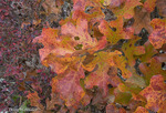 Blackjack Oak; Quercus marylandica; autumn; NJ, Pine Barrens