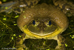 Bullfrog; Rana catesbiana; male; in man-made pond: PA, Philadelphia, Farimount Park, Wissahickon Creek