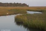 Salt marsh - autumn Dias Creek; Spartina alterniflora; Cape May County, NJ; Great Egret fishing on bank.