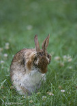 Eastern Cottontail Rabbit; Sylvilagus floridanus, grooming face;  PA, Philadelphia