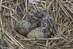 Laughing Gull nest; Larus atricilla; Stone Harbor, Cape May Co., NJ