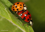 Asian multicolored ladybug; Harmonia axyridis; mating; PA, Philadelphia;  Schulykill Center for Environmental Education;
