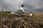 Laughing Gull; Leucophaeus atricilla; in colony at nest with eggs; NJ, Cape May County, Ring Island