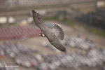 Peregrine Falcon; Falco peregrinus; over auto import lot; PA, Philadelphia, Walt Whitman Bridge