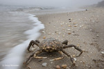 Common Spider Crab; Libinia emarginata; washed up on beach; NJ, Cape May