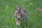Eastern Cottontail Rabbit; Sylvilagus floridanus; PA, Philadelphia
