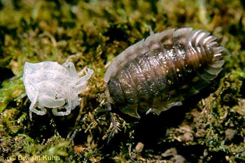 This pillbug has just molted (the old exoskeleton is on the left and the pillbug is on the right). (DP) http://www.agpix.com/catalog/AGPix_DwRKu12/large/AGPix_DwRKu12_0174_Lg.jpg