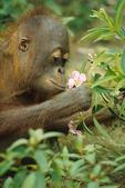 Orangutan with flower, Borneo, Kalimatan, Indonesia