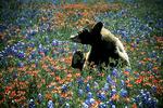 Bear in Texas wildflowers