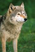 Gray wolf close-up portrait, Sandstone, Minnesota