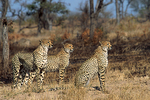 Cheetahs on alert in South Africa