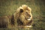 Crater lion, Tanzania, Africa